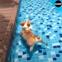 Funniest That Will Keep You Laughing For Hours - Dogs, Funny Dogs, Cute Dogs, Dogs Videos - Animals Corgi Funny, Corgi Gif, Funny Dogs, Funny Animal Videos, Cute Funny Animals, Cute Baby Animals, Videos Funny, Pet Videos, Corgi Videos