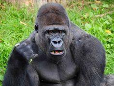 Escaped Gorilla Bathroom Prank escaped gorilla bathroom prank! - watch the video!! > http://funny