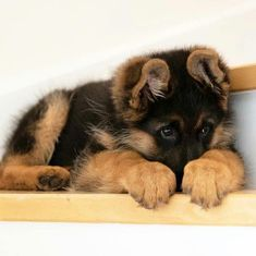 The German Shepherd Dog is the second most popular breed in the United States, and it is easy to see why. Source by dogtime The post German Shepherd Puppies: Cute Pictures And Facts appeared first on Gwen Howarth Dogs. Super Cute Puppies, Cute Dogs And Puppies, Baby Dogs, Doggies, Fluffy Puppies, Puppies Stuff, Tiny Puppies, Doggy Stuff, Pet Dogs