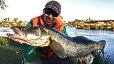 Wonderful massive pike perch fishing from Guadiana river in Extremadura, Spain.