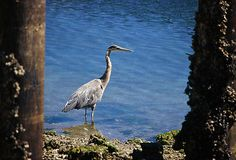 The great blue heron is a large wading bird in the heron family Ardeidae, common near the shores of open water and in wetlands over most of North America and Central America as well as the Caribbean and the Galápagos Islands.