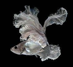 着物姿で踊っているかのような熱帯魚ベタの美しい写真集 - 05