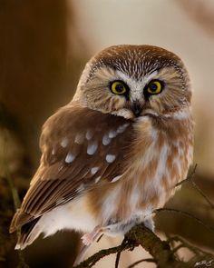 Northern Saw-Whet Owl by Matt Bango on Flickr. :) Northern Saw-Whet Owl by Matt Bango Birds Of Prey, All Birds, Love Birds, Beautiful Owl, Animals Beautiful, Majestic Animals, Saw Whet Owl, Baby Owls, Little Owl