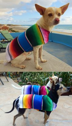 Chihuahua clothes and fashion. Proceeds donated to help homeless dogs in Baja! Now available on Amazon Prime.