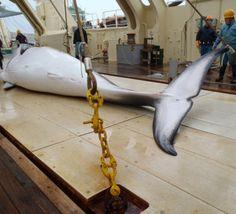 Le Japon reprend la chasse à la baleine dans l'Antarctique, bravant le tollé international