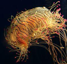 Flower hat jelly | Gallery  Mark Skalinski  Photos  Nature  Flower Hat Jelly 2