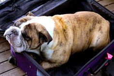 "♥ ""No Mom - I'm laying in this suitcase 'cause you are not going on another trip without me!"" ♥"
