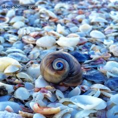 I Love Shelling blog by an avid shell seeker and artist