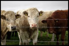 high resolution images of cows | Cows Animals High Quality Images 1000×669