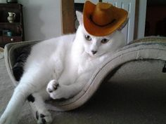 White cat in cowboy hat.
