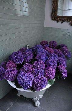 My favourites…hydrangeas…