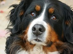 bernský salašnicky pes