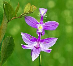 TUBEROUS GRASS PINK ORCHID: (Calopogon tuberosus). Greg Funka took this photograph in the French Creek Watershed in Erie County, PA on June 24, 2015.