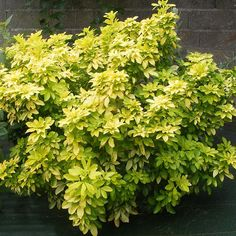 Sundance Mexican Orange Blossom (Choisya ternata 'Sundance') is an evergreen shrub with bright chartreuse foliage that provides year-round color and contrast. Fragrant orange blossom-like blooms in spring are a delightful bonus.  Moderate growing, 5-6'H x W.