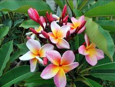 if i lived in a tropical climate i would grow these, they smell so good :)