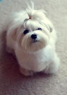 Maltese and Children: Is It a Good Combination - Champion Dogs I Love Dogs, Cute Dogs, Maltese Haircut, Perro Shih Tzu, Baby Animals, Cute Animals, Dog Haircuts, Maltipoo Haircuts, Puppy Cut