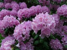 Rhododendron catawbiense  Photo by BlueRidgeKitties, CC BY-NC-SA - 2.0 (https://plants.ces.ncsu.edu/plants/all/rhododendron-catawbiense/