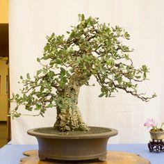 Cork oak 20140308-38-BABA-XL.jpg (768×768)