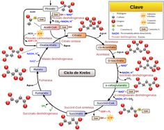 note the acetyl and citrate, resulting from acetic acid and citric acid, respectively, and their relation to coenzyme a {CoA}. Citric Acid Cycle, Cellular Energy, Acetic Acid, Chemical Reactions, Biochemistry, No Carb Diets, Atkins, Ketogenic Diet, Teaching Biology