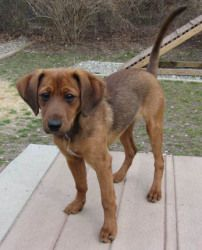Wallace is an adoptable Labrador Retriever Dog in Brick, NJ. *Per JSAC policy, puppies and kittens under 5 months will not be adopted to families with children under the age of 5 years....