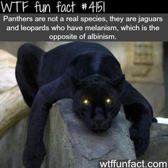 Panthers are not a real species, they are jaguars and leopards who have melanism, which is the opposite of albinism.