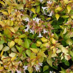 Abelia 'Francis Mason' Full sun evergreen shrub that could be a replacement for the Spirea if you choose to remove it. This plant is attractive to bees, butterflies and birds Flowers are fragrant and colorful foliage adds winter interest. Full Sun Shrubs, Florida Flowers, Emerald Lake, Famous Daves, Evergreen Shrubs, One Tree, Garden Inspiration, Garden Ideas, Begonia