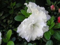 25 best azaleas images on pinterest flowering bushes flowering azalea aline bought another one of these yesterday coincidentally our wedding anniversary double mightylinksfo