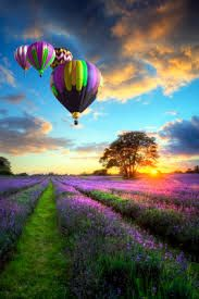 Hot air balloons & field with purple flowers