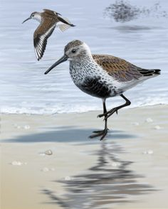"""The Dunlin (Calidris alpina) is a small wader, sometimes separated with the other """"stints"""" in Erolia. It is a circumpolar breeder in Arctic or subarctic regions. Birds that breed in northern Europe and Asia are long-distance migrants, wintering south to Africa, southeast Asia and the Middle East. Birds that breed in Alaska and the Canadian Arctic migrate short distances to the Pacific and Atlantic coasts of North America,"""