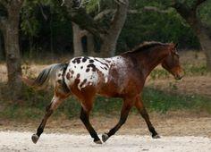 Appaloosa Horses for Sale   Spotted Trinity , Appaloosa Gelding in Texas