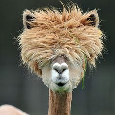 I NEED A NEW BARBER. {A freshly sheared alpaca in Austria)