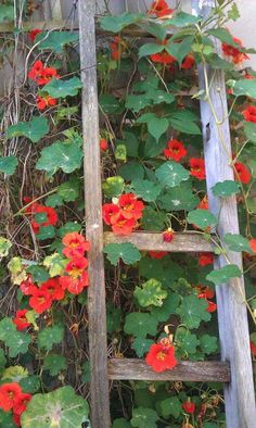 I think the nasturtiums are supposed to be climbing the ladder. Love the climbing variety