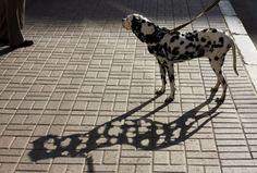jajajaa Dalmatian Shadow