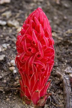 Snow plant (Sarcodes sanguinea) Sarcodes is a monotypic genus of a single springtime flowering plant in the heath family (Ericaceae) containing the single species Sarcodes sanguinea, commonly called the snow plant or snow flower. Weird Plants, Unusual Plants, Rare Plants, Exotic Plants, Cool Plants, Strange Flowers, Unusual Flowers, Rare Flowers, Amazing Flowers