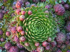 Nice cold hardy succulent called jovibarba with a lot of offsets.