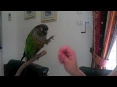 How to Train your Bird to do Awesome Tricks Tutorial! Bird Mom, Crazy Bird, Cockatiel, Budgies, Conure Bird, Senegal Parrot, African Grey Parrot, Parrot Toys, Bird Pictures