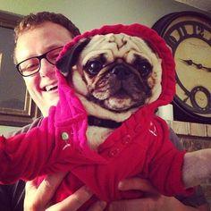 Little pug plays dress-up