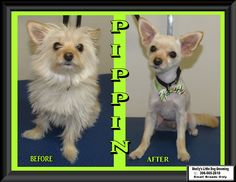 Welcome this Little Man - Pippin! His first time here and a real joy to groom, I look forward to seeing him again. :)  Video's: 1) This Little Man - Pippin was very good for his bath & Dry! :)  https://www.facebook.com/ShellyLbrn3/videos/1597011620371952/  2) Pippin the little Chorkie! (Yorkie / Chihuahua) :)  https://www.facebook.com/ShellyLbrn3/videos/1597044897035291/