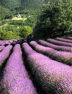 Lavender field, Provence, France I bet this place would smell amazing!!