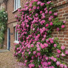 Foto del día: Rosas perfumadas en Wollerton Old Hall Garden