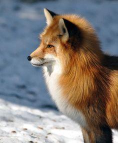 beautiful-wildlife: Red Fox by Robert Fry