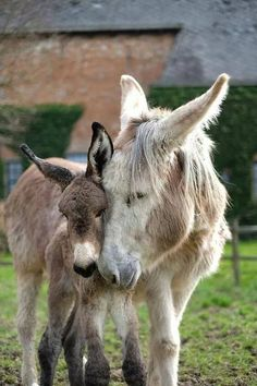 Mother donkey, a Jennie, and her foal. Do animals have emotions? Do animals experience love. Here is a great photo that seem to show they are conscious and have to ability to feel love and affections. Baby Donkey, Cute Donkey, Baby Cows, Baby Elephants, Elephant Baby, Mini Donkey, Cute Baby Animals, Farm Animals, Animals And Pets