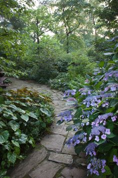 Hydrangea macrophylla 'Blue Wave' and the foliage of Begonia grandis edge a path in The Minder Woods. Chanticleer, US
