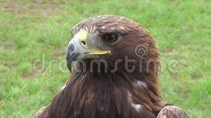 Golden Eagle, Endangered Species, Predator, Eagles, Castle, Detail, Rivers, Law, Bands