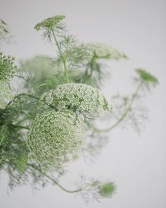 Love the quirky movement of this Ammi visnaga! | #underthefloralspell #flowerphotography