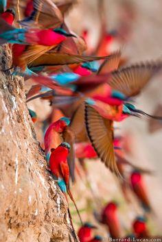 Superb Nature - Carmine bee-eater colony by wildlife. Pretty Birds, Love Birds, Beautiful Birds, Animals Beautiful, Cute Animals, Exotic Birds, Colorful Birds, Colorful Animals, Exotic Pets