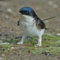 House martin, a better shot of its adorable fuzzy legs.