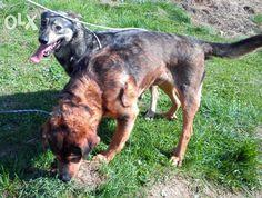 BOLEK I LOLEK   Bolek (rudo-czarny) i Lolek ( czarno-szary) to bracia.  U poprzednich właścicieli biegały luzem i pilnowały posesji.  Nie lubią więc chodzić na smyczy, czy być uwiązane.   Idealnie odnajdują się na dużym wybiegu, gdzie mogą swobodnie biegać :)   Są czujne i idealnie odnajdą się w roli psów stróżujących:)  Nie są agresywne i lubią towarzystwo człowieka:)   Na pewno będą sympatycznymi stróżami domu :)