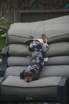 Lazy Dachshund