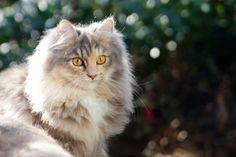 Deutsch Langhaar Katze